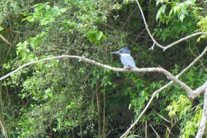 P1010680 kingfisher